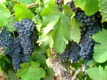 vente viticole NARBONNE 4 134 000  € 230 m²